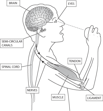Illustration showing the co-ordination of motor control in the body